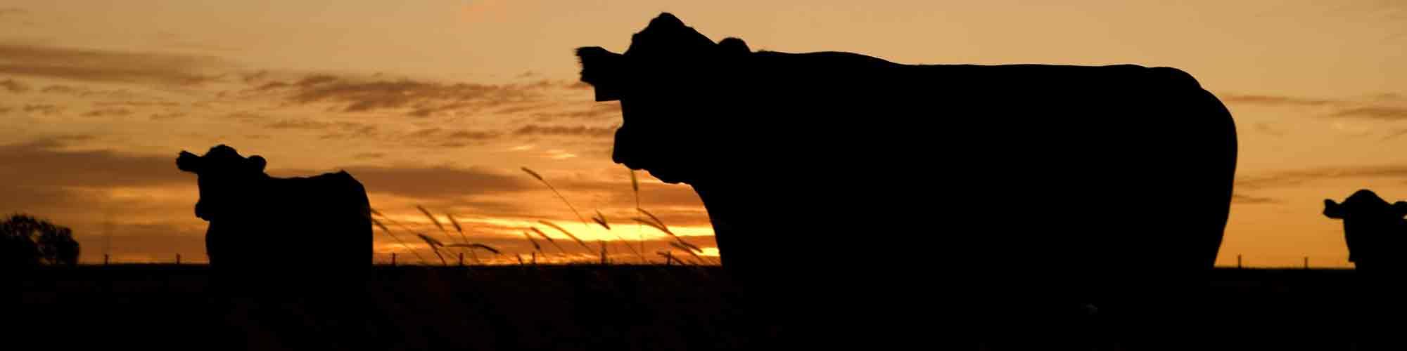 Bubba Cows
